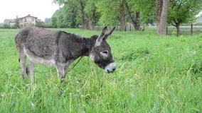 Farmer woman donkey feed stock video