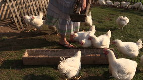 Farmer woman in dress feed broiler chicken with grains stock video footage