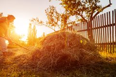 Farmer woman gathers hay with pitchfork at sunset in countryside. Hard work in village. Farmer woman gathers hay with pitchfork at sunset in countryside stock images