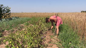 Farmer woman harvest dig natural potato with fork in farm field stock video