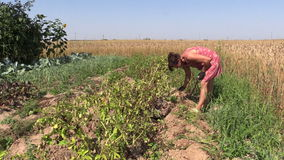 Farmer woman harvest dig natural potatoes with fork in field stock video footage
