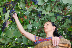 Farmer woman harvesting wine grapes Stock Images