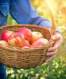 Farmer woman holding a basket full of organic apples Stock Image