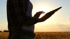 Farmer woman holding a tablet computer and touching the screen, being in a wheat field at sunset. Girl counts wheat crop and income. Harvesting, agriculture stock video footage