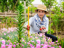 Farmer woman orange lily plant height measurement Stock Photo