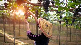 Farmer woman picking grape during wine harvest Royalty Free Stock Photography
