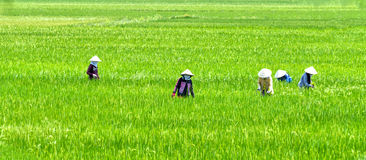 Farmer woman picking grass on the rice fields Royalty Free Stock Photo