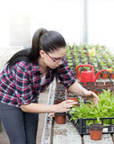 Farmer woman with sprouts in greenhouse Royalty Free Stock Photography