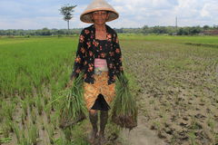 Farmer. A woman take a rice plant in the middle fields on Banyudono, Boyolali, Central of Java Stock Photography