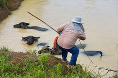 Farmer woman taking care of her water buffalos Royalty Free Stock Photography