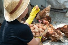 Farmer women wear black shirts and wear yellow rubber gloves and brown apron are gathering fresh chicken eggs into basket on a chi stock photo