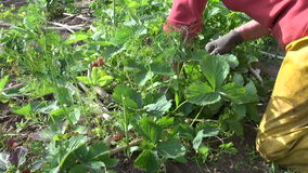 Farmer woman weed strawberry plants. Seasonal rural works stock video
