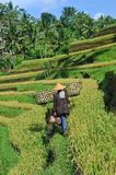 Farmer with wooden tool to prepare paddy field Royalty Free Stock Photography