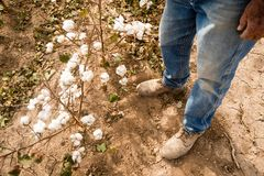 Farmer`s Feet Boots Brown Dirt Cotton Plants Bolls Harvest Ready. Farmer in work boots stands checking cotton plants before harvest Stock Images