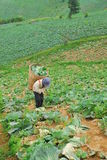 Farmer work in the cabbage field on the mountain Phu Thap Boek in PHETCHABUN THAILAND Royalty Free Stock Image