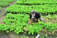 Farmer at work. Cameron Highland, Malaysia – September 22, 2013. Farmer at work. A farmer harvesting the vegetables at his farm in Cameron Highland, Malaysia Royalty Free Stock Photo