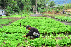 Farmer at work. Cameron Highland, Malaysia – September 22, 2013. Farmer at work. A farmer harvesting the vegetables at his farm in Cameron Highland, Malaysia Royalty Free Stock Image