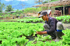 Farmer at work. Cameron Highland, Malaysia – September 22, 2013. Farmer at work. A farmer harvesting the vegetables at his farm in Cameron Highland, Malaysia Stock Photography