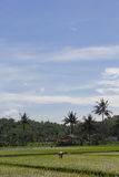 Farmer work at daylight with coconut trees at the back. Farmer work at rice field in a bright sunny day with blue sky Stock Photos