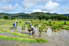 Farmer Work In A Rice Plantation Stock Photo