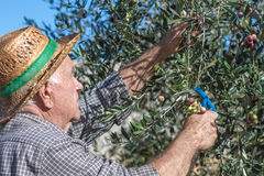 Farmer at work. With olive tree Stock Photos