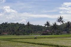 Farmer work at the rice field with coconut trees backgrpund. Farmer in a rice field with bright blue sky and coconut trees at the back and picture in a Stock Images