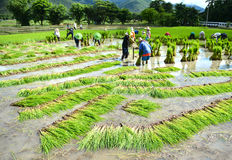 Farmer work in a rice plantation Stock Photography