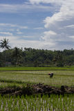 Farmer at work in a sunny day. Farmer work at the rice field in a bright sunny day with blue sky and white clouds Royalty Free Stock Image