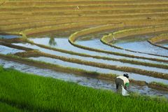 Farmer workers rice fields terashering royalty free stock images