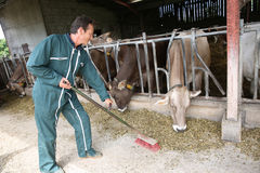 Farmer working in barn, cows eating Royalty Free Stock Photos