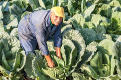 Farmer working cabbage farm Royalty Free Stock Photo