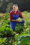 Farmer working at field. Farmer working at cabbage field Royalty Free Stock Photography