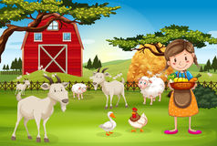 Farmer working on the farm with animals Royalty Free Stock Images
