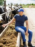 Farmer working on farm with dairy cows. Farmer is working on farm with dairy cows stock photography