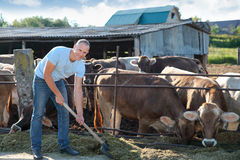 Farmer is working on farm with dairy cows Stock Photography