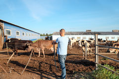 Farmer is working on farm with dairy cows Royalty Free Stock Photo