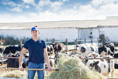 Farmer is working on farm with dairy cows royalty free stock images