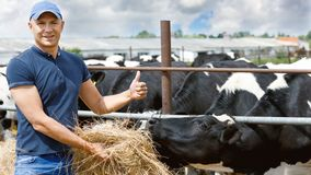 Farmer working on farm with dairy cows royalty free stock image