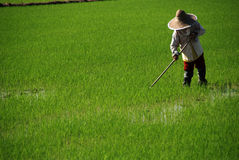 Farmer working on field. Farmer at the paddy field cutting grass stock images