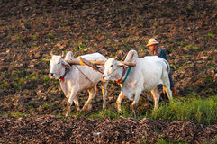 Farmer working in the field with water buffalo Royalty Free Stock Photography