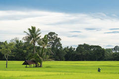 Farmer working in the green rice field , look from the angle of sight Stock Photo