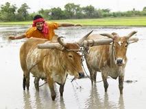 Farmer working in his paddy field Royalty Free Stock Photo