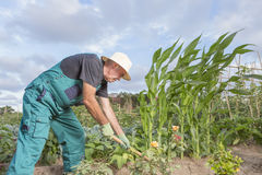 Farmer working his urban vegetable garden Royalty Free Stock Photography