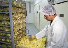 Farmer working in incubator. Farmer controls baby chicken, hatched in incubator Royalty Free Stock Photos