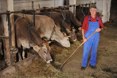 Farmer is working with dairy cows Stock Photography