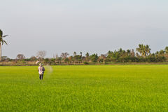 Farmer working in paddy Royalty Free Stock Photos