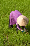 Farmer working in a paddy field. In the mekong delta, Vietnam Stock Images