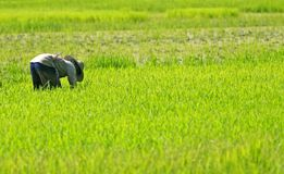 Farmer working in paddy field. Farmer planting rice seeds in green paddy field with copy space Royalty Free Stock Photos