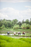 Farmer is working in a paddy field Royalty Free Stock Photo