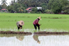 Farmer working on paddy field. Stock Photography